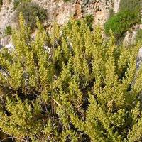 Maltese Salt Tree