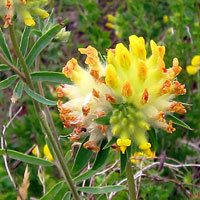 Shrubby Kidney Vetch