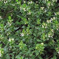 White Hedge Nettle